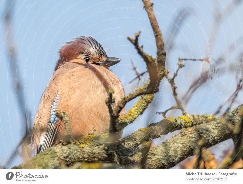 Aufgeplusterter Eichelhäher sitzt im Baum Natur Tier Himmel Sonnenlicht Schönes Wetter Ast Wildtier Vogel Tiergesicht Flügel Feder Schnabel Auge 1 beobachten