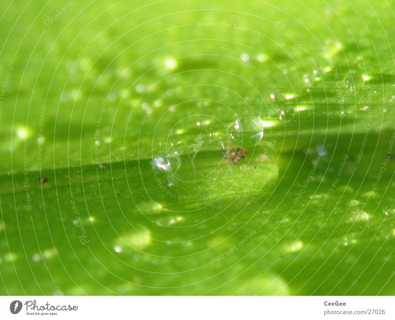 Tröpfchen 3 Blatt Pflanze grün feucht nass Makroaufnahme Nahaufnahme Wasser Regen Wassertropfen