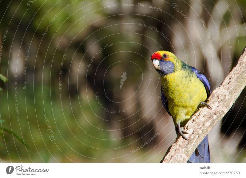 australischer Sittich Natur Sommer Park Tier Haustier Wildtier Vogel Flügel Krallen 1 frech niedlich blau mehrfarbig gelb grau grün rot friedlich Farbfoto