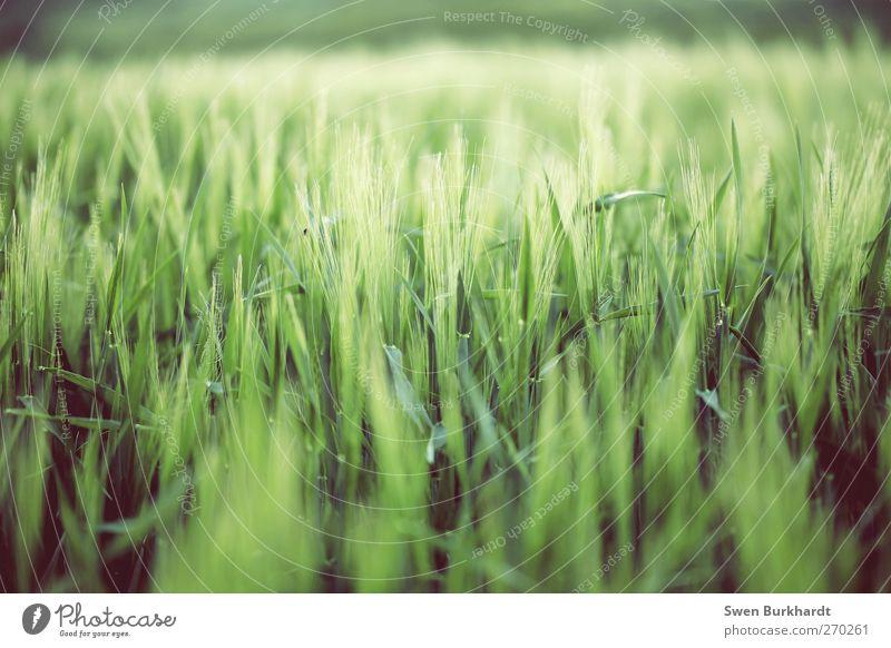 Neue Ernte Lebensmittel Getreide Ernährung Umwelt Natur Landschaft Pflanze Frühling Sommer Blatt Nutzpflanze schön grün Gerste Gerstenfeld Gerstenähre
