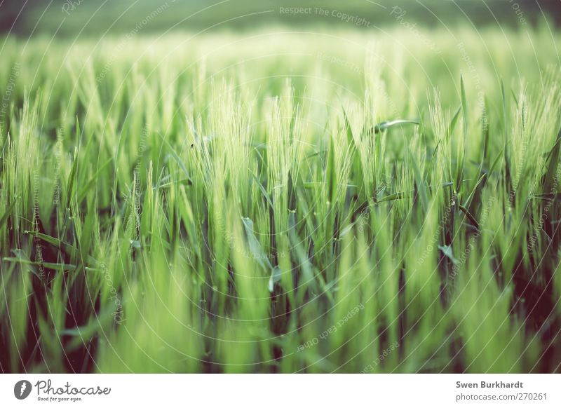 Neue Ernte Natur grün schön Pflanze Sommer Blatt Umwelt Landschaft Ernährung Lebensmittel Frühling Horizont Feld Getreide Landwirtschaft Ähren