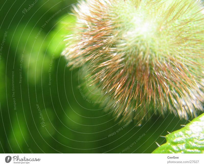 Pfingstrosenknolle Knolle Blüte Pflanze grün rund Blume Natur Nahaufnahme Kugel Stachel Haare & Frisuren