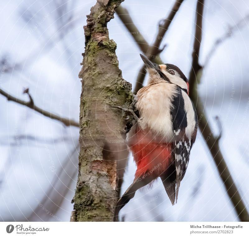 Buntspecht am Baumstamm Himmel Natur blau Farbe weiß rot Tier Wald schwarz Vogel leuchten Wildtier Feder Schönes Wetter Flügel