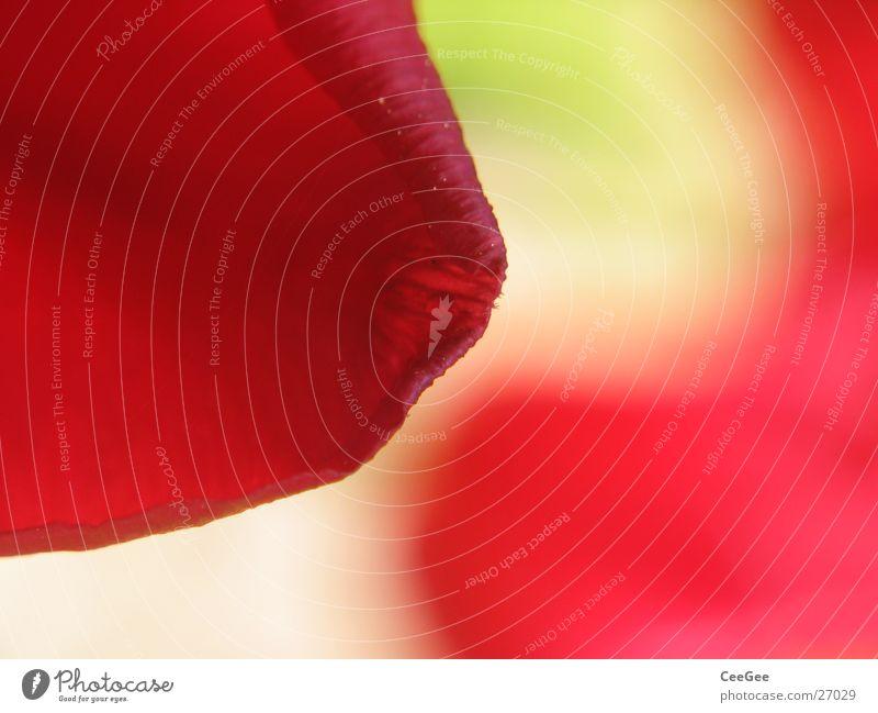 Tulpe Blüte Pflanze grün rot Unschärfe Reflexion & Spiegelung Spiegelbild Blume Blatt weich Verlauf Natur Nahaufnahme sanft