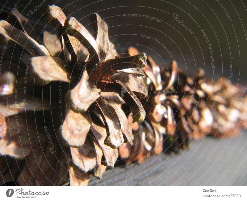 Zapfen braun Kiefer Reihe Nahaufnahme Makroaufnahme Kiefernzapfen Schwache Tiefenschärfe Menschenleer