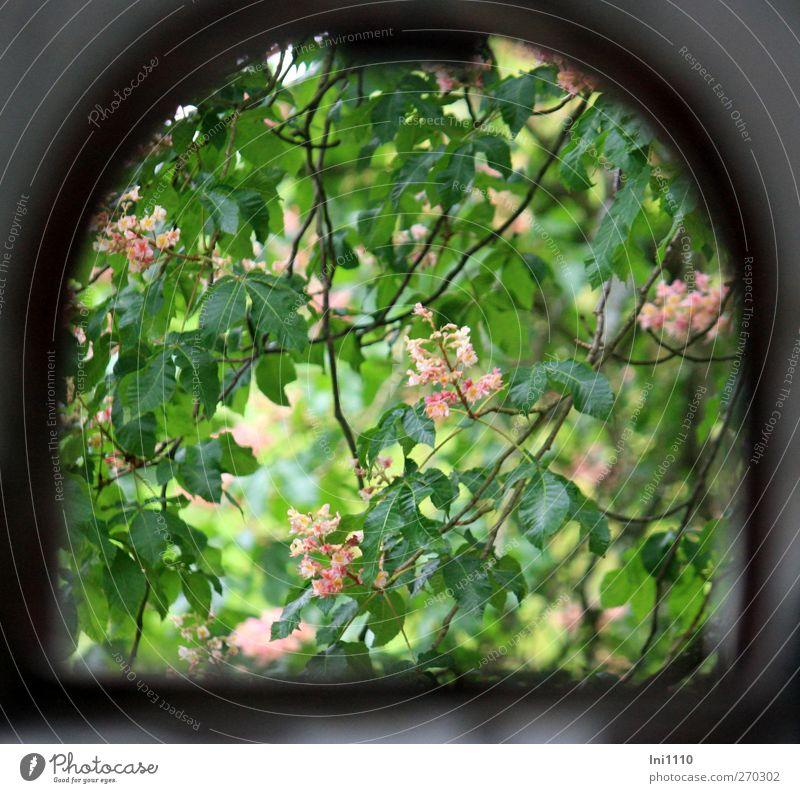 Blick durchs Fenster auf blühenden Kastanienbaum Natur Pflanze Sonnenlicht Frühling Schönes Wetter Baum Blatt Blüte Park Ruine Blühend entdecken grau grün rosa