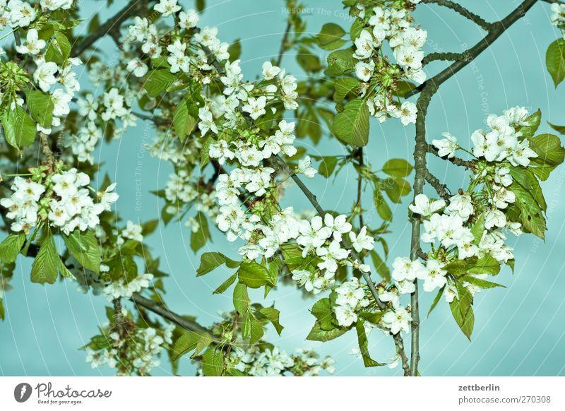Angeblitzte Kirschblüten Ferien & Urlaub & Reisen Ausflug Abenteuer Sommer Garten Umwelt Natur Pflanze Frühling Klima Klimawandel Wetter Schönes Wetter Baum