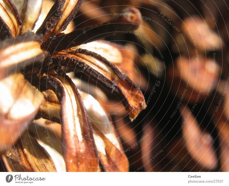 Zapfen 2 braun Kiefer Nahaufnahme Makroaufnahme Kiefernzapfen Schwache Tiefenschärfe Strukturen & Formen