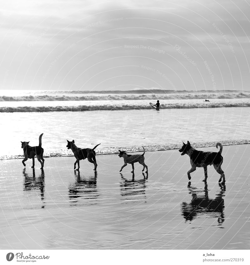 auf den hund gekommen Natur Landschaft Sand Wasser Himmel Horizont Sommer Schönes Wetter Wellen Küste Strand Meer Tier Haustier Hund 4 Tiergruppe Rudel