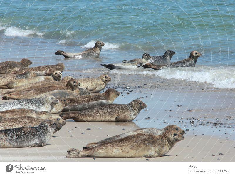 viele Kegelrobben liegen am Strand und im Wasser auf der Düne von Helgoland Ferien & Urlaub & Reisen Sommer Umwelt Natur Tier Schönes Wetter Küste Nordsee Insel