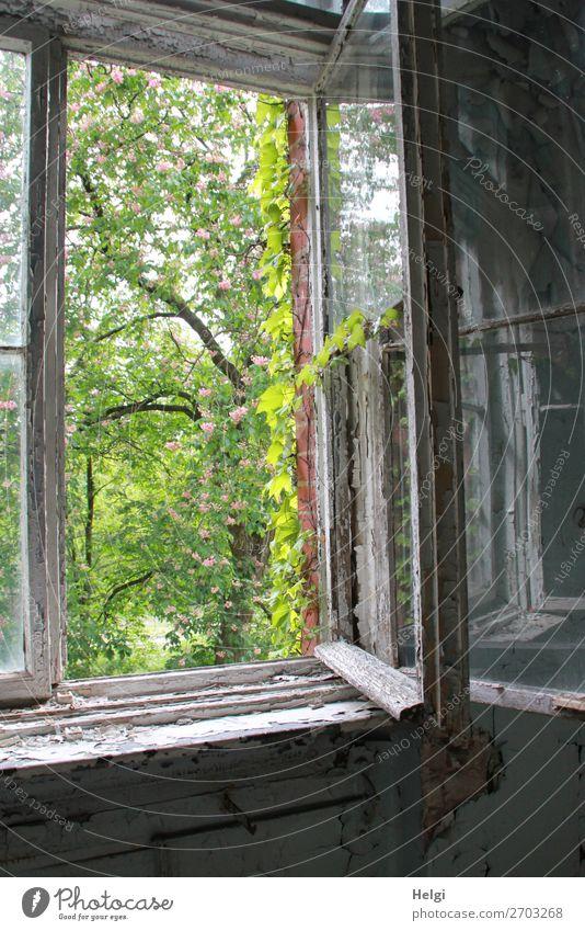 geöffnetes altes Fenster in einem verfallenen Gebäude mit Blick in einen Frühlingsgarten Umwelt Natur Pflanze Schönes Wetter Baum Blatt Weinblatt Haus Mauer