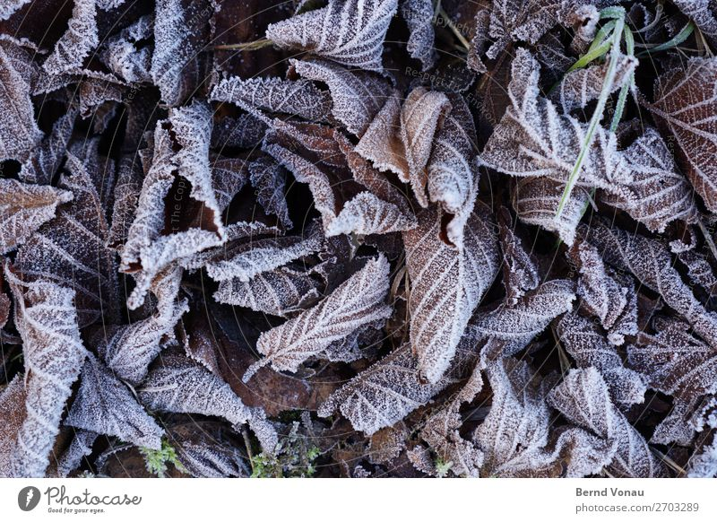 gefrorenes Laub Herbst Winter Pflanze unten grau Tod blätter Blatt kalt Eis trist welk gefallen Blattadern Wald Baum Farbfoto Außenaufnahme Nahaufnahme