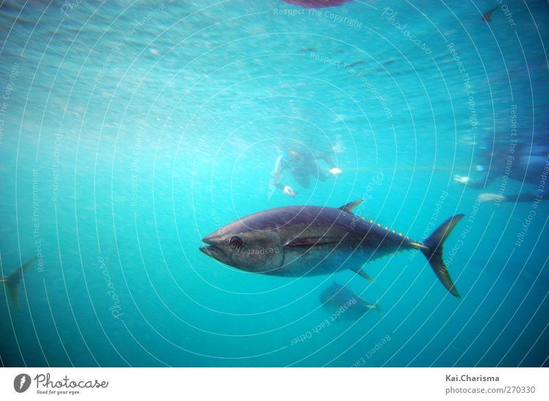Tuna tauchen Fisch 1 Tier blau Thunfisch Schnorcheln Farbfoto Unterwasseraufnahme Textfreiraum oben Zentralperspektive Taucher