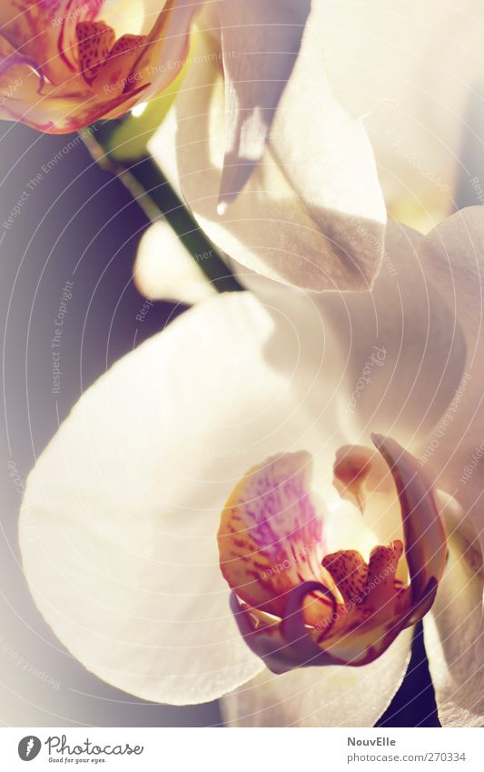 Awaking. Pflanze rosa elegant weich violett Duft Orchidee