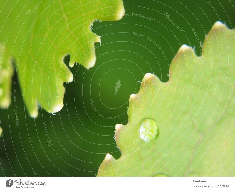 Zahnradblätter Natur Wasser grün Pflanze Blume Blatt Regen Seil Wassertropfen Zacken passend