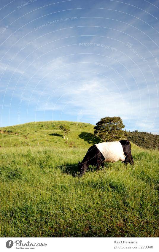 Bi Color Cow Tier Landschaft Wiese Gras Kuh