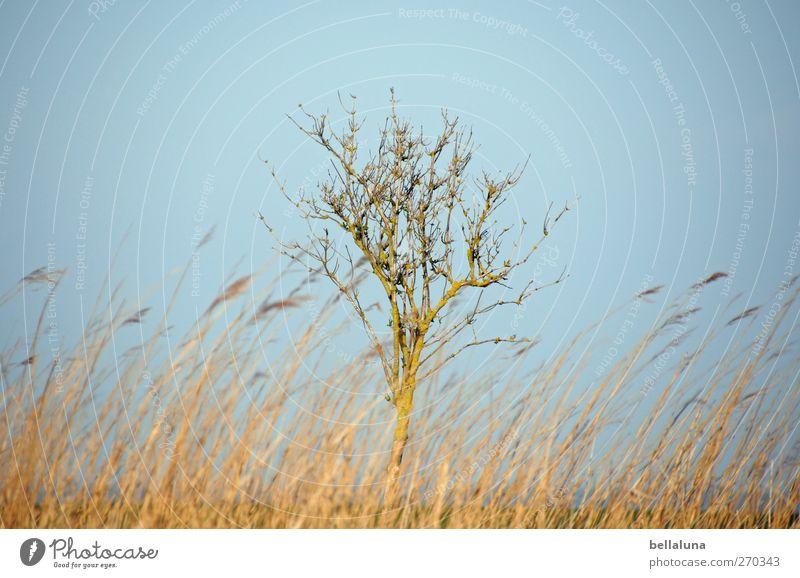Hiddensee | Einzelgänger Himmel Natur schön Baum Pflanze Umwelt Landschaft Gras Frühling Küste Sträucher Schönes Wetter Ostsee Schilfrohr Wolkenloser Himmel