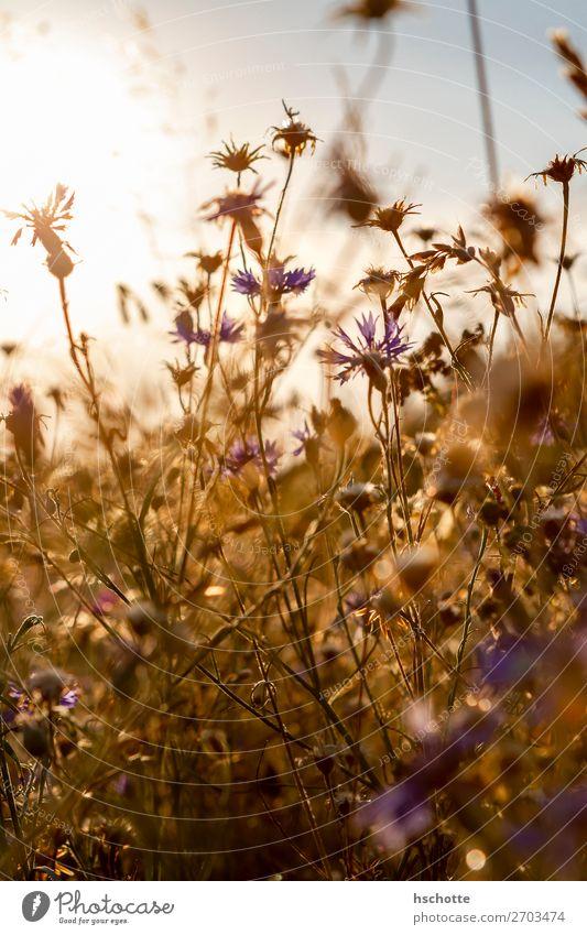 Kornblumen im Gegenlicht Umwelt Natur Landschaft Pflanze Sonne Sommer Herbst Schönes Wetter Wärme Blume Gras Blüte Wildpflanze Wiese Feld gelb gold violett