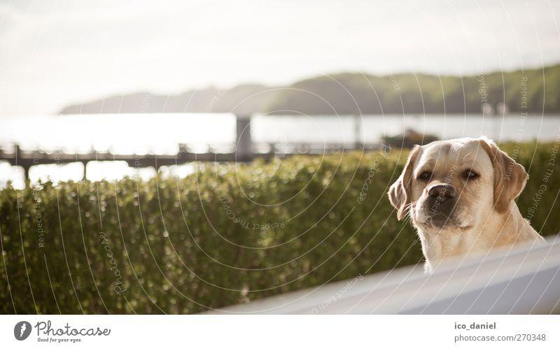 hä...? Freizeit & Hobby Landschaft Wasser Frühling Park Tier Haustier Hund 1 authentisch Freude Fröhlichkeit Labrador Retriever Farbfoto Gedeckte Farben