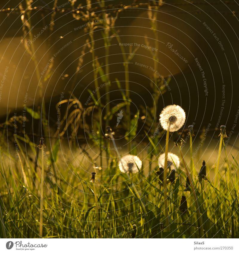 Pusteblümchen weiß grün Pflanze Blume gelb Gras Frühling Stimmung braun gold Löwenzahn