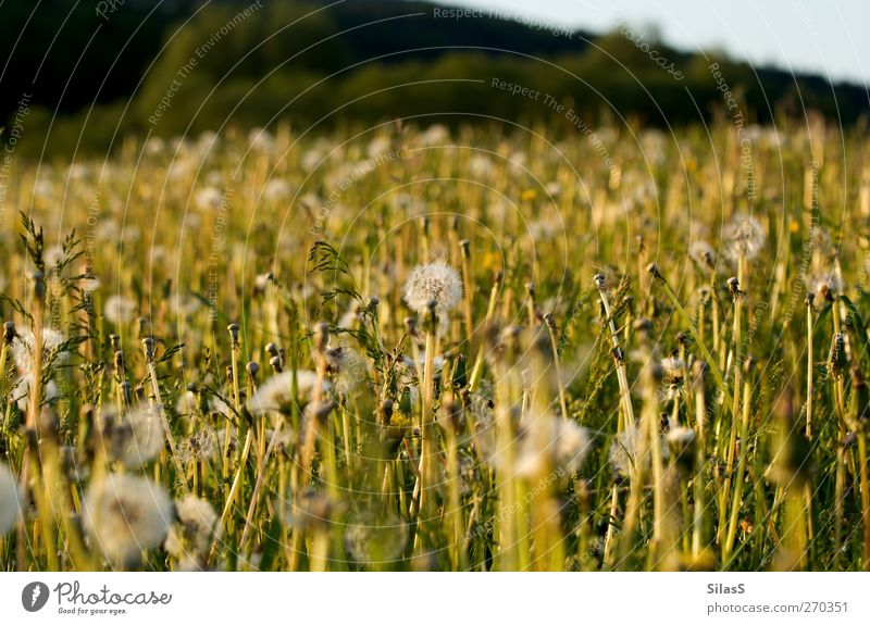 Frühlingswiese Natur blau weiß grün Pflanze Blume gelb Wiese Gras Sträucher Hügel Löwenzahn