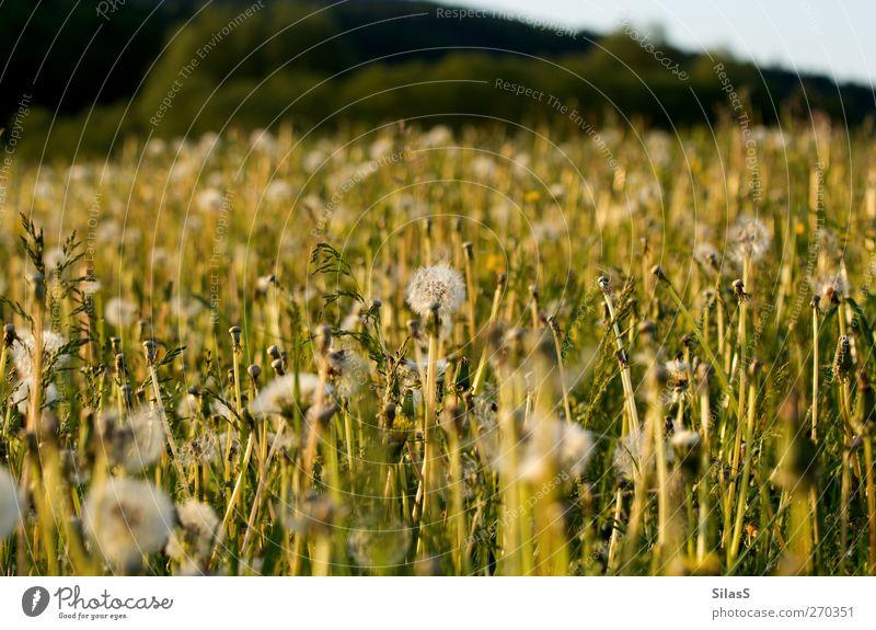 Frühlingswiese Natur blau weiß grün Pflanze Blume gelb Wiese Gras Frühling Sträucher Hügel Löwenzahn