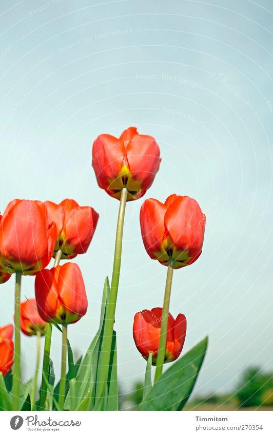Karl klaut Kulpen Umwelt Natur Pflanze Himmel Wolkenloser Himmel Frühling Blume Tulpe Heidelberg Stadtrand Menschenleer Wachstum blau gelb grün rot Gefühle