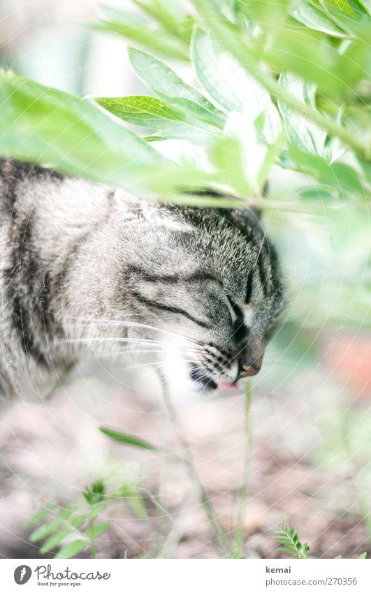Gras fressen Umwelt Natur Pflanze Sträucher Blatt Tier Haustier Katze Tiergesicht Fell Zunge 1 Fressen hell grau grün Geruch ablecken Tigerfellmuster Farbfoto