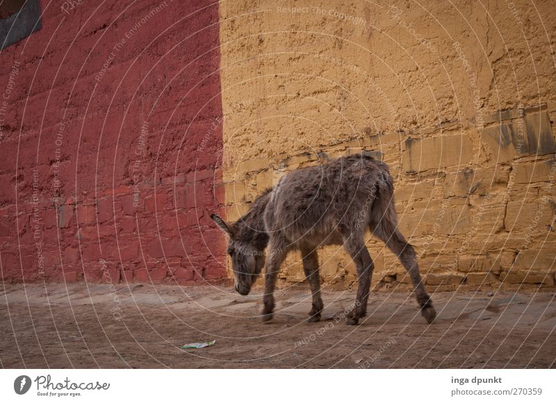 Nachhauseweg Stadtrand Menschenleer Mauer Wand Straße Wege & Pfade Gasse Tier Nutztier Esel Säugetier 1 dunkel kalt gelb rot Einsamkeit ruhig Außenaufnahme Tag