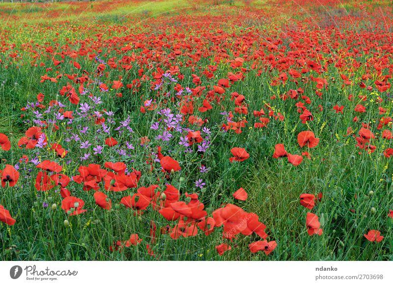 Feld mit rot blühendem Mohn an einem Frühlingstag Sommer Natur Landschaft Pflanze Blume Gras Blatt Blüte Wildpflanze Wiese Blühend frisch hell natürlich wild