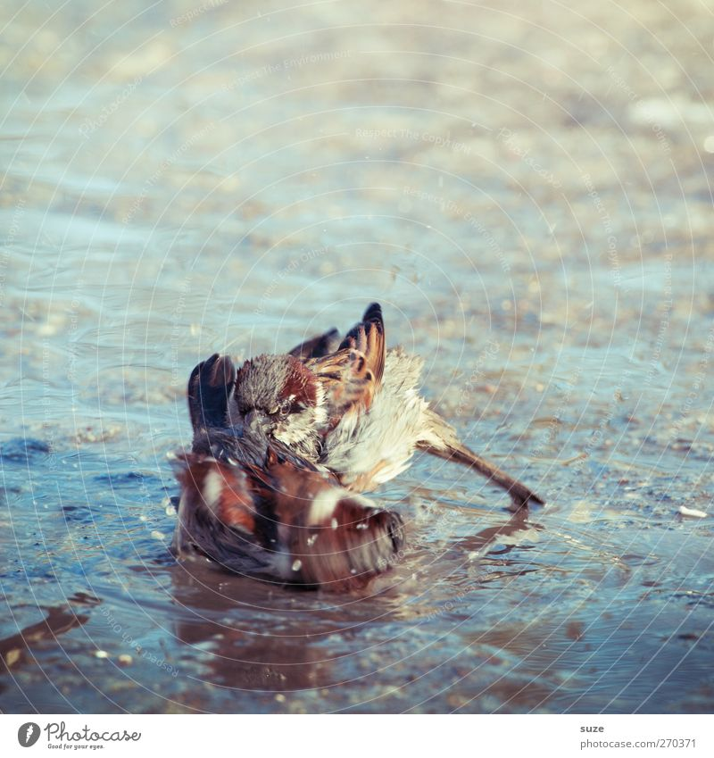 Wilde Kerle Umwelt Natur Tier Wildtier Vogel 2 Tierpaar Schwimmen & Baden kämpfen Spielen authentisch dreckig frech klein natürlich niedlich wild braun Kraft