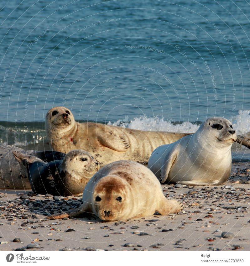 vier Seehunde liegen in der Abendsonne am Strand auf der Düne von Helgoland Umwelt Natur Tier Wasser Sommer Schönes Wetter Küste Nordsee Insel Wildtier