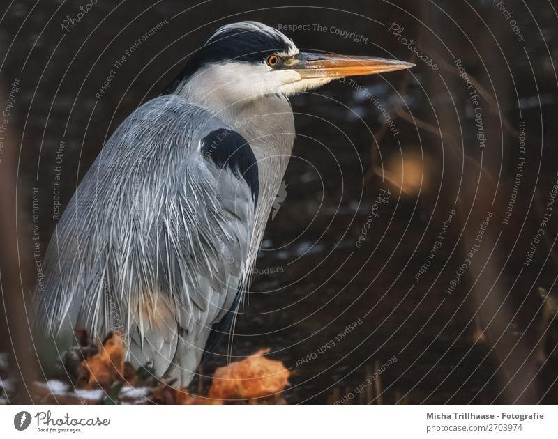 Graureiher am Fluss Natur weiß Tier Blatt schwarz Auge natürlich orange Vogel braun grau glänzend Wildtier stehen Feder warten