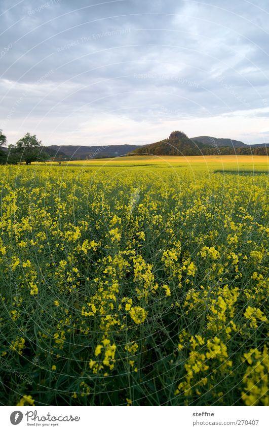 yellow submarine Natur Landschaft Himmel Pflanze Nutzpflanze Raps Rapsfeld Feld Elbsandsteingebirge gelb Idylle Farbfoto mehrfarbig Außenaufnahme Dämmerung