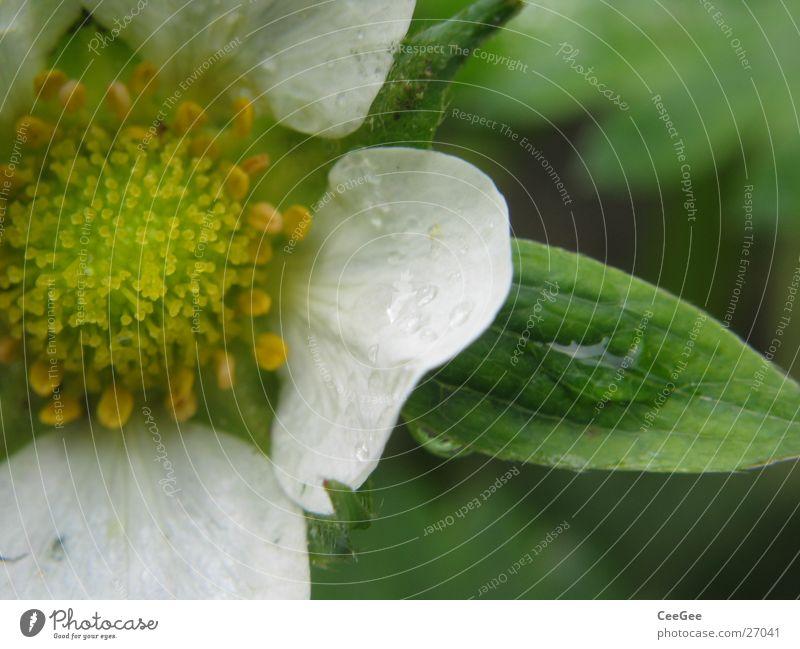 Erdbeerblüte Pflanze Blume Blüte Blütenblatt Blatt weiß grün Erdbeeren Stempel Natur Makroaufnahme Nahaufnahme