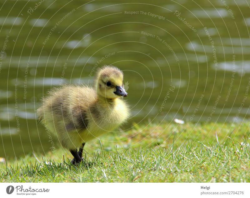kleines flauschiges Gänseküken läuft durchs Gras am Seeufer Umwelt Natur Pflanze Tier Wasser Frühling Schönes Wetter Park Teich Wildtier Vogel Gans 1 Tierjunges