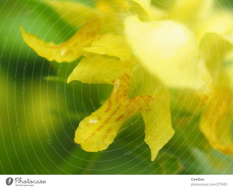 Nessel Pflanze Blume Blüte Blütenblatt Blatt gelb grün weich Stempel Natur Makroaufnahme Nahaufnahme Detailaufnahme Bildausschnitt Anschnitt Blühend