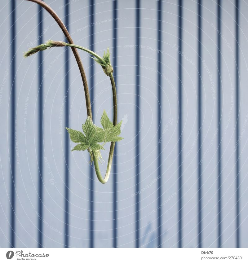 Schwungvoll Natur blau grün Pflanze Leben Frühling Garten Metall Linie elegant Wachstum ästhetisch Streifen Wandel & Veränderung Wein Tor