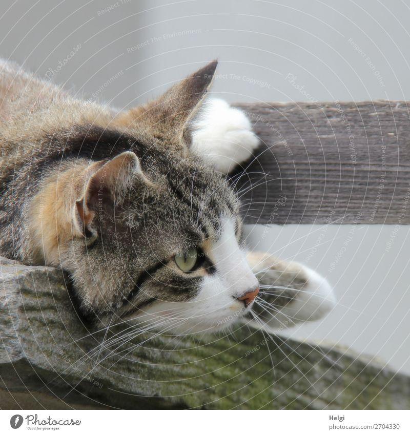Detailaufnahme, Kopf und Pfoten einer Katze, die auf einem Holzbrett liegt Tier Haustier 1 beobachten liegen Blick einzigartig natürlich Neugier braun grau