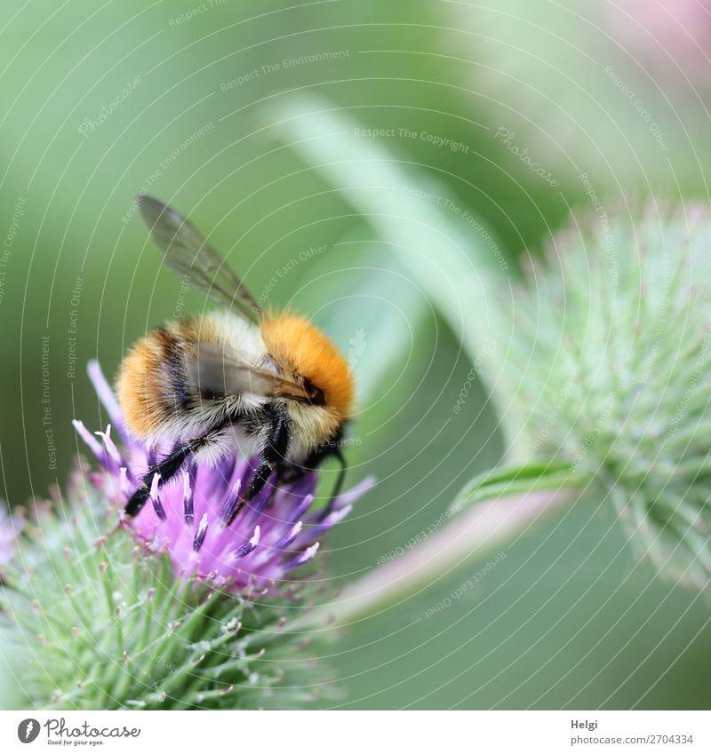 flauschige Hummel sucht Futter auf einer lila Distelblüte Umwelt Natur Pflanze Sommer Blume Blüte Wildpflanze Wiese Tier Wildtier 1 Blühend festhalten krabbeln