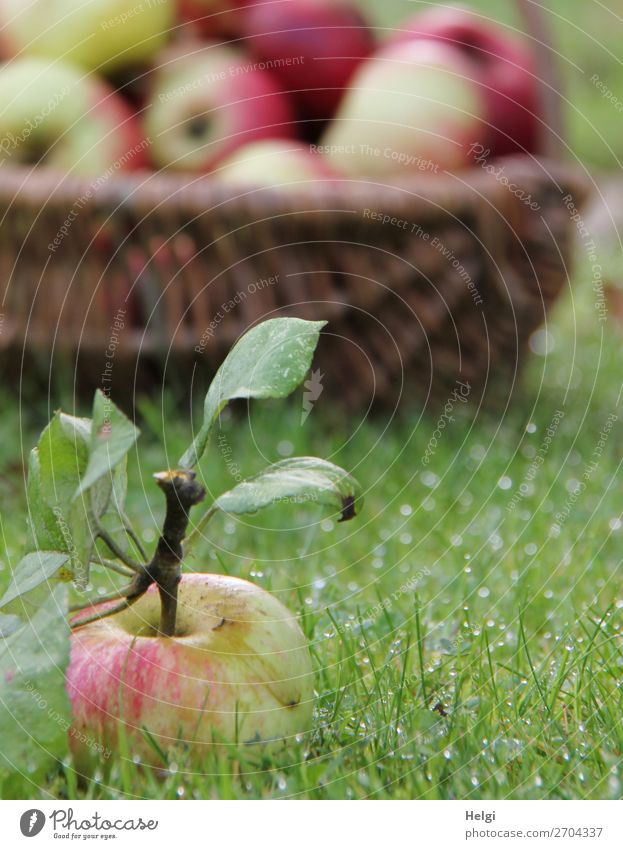 frisch gepflückter Apfel mit Stiel und Blättern liegt im nassen Gras, im Hintergrund ein Weidenkorb mit vielen Äpfeln Lebensmittel Frucht Ernährung Bioprodukte