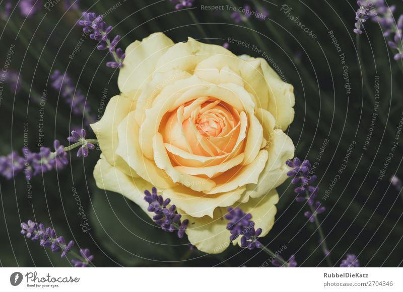 RoseInGelb Umwelt Natur Landschaft Pflanze Blume Blüte Grünpflanze Duft Liebe verblüht ästhetisch außergewöhnlich elegant natürlich gelb grün violett rot