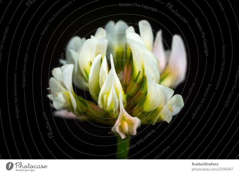 Blüte 01 Natur Pflanze grün weiß Blume schwarz gelb Stil rosa Wachstum elegant ästhetisch Romantik einzigartig Duft