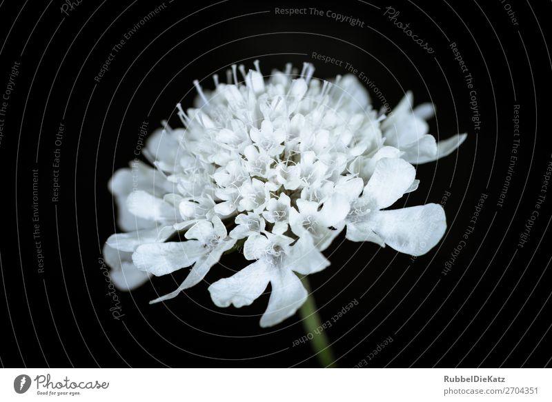 Blüte 03 Natur Pflanze grün weiß Blume schwarz gelb Umwelt kalt Wachstum elegant ästhetisch Blühend einzigartig Vergänglichkeit