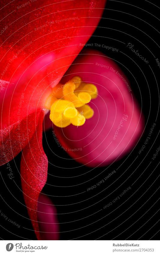 Rot Gelb Umwelt Natur Pflanze Feuer Blume Blatt Blüte Topfpflanze exotisch Blühend Duft glänzend ästhetisch fantastisch natürlich gelb rot schwarz
