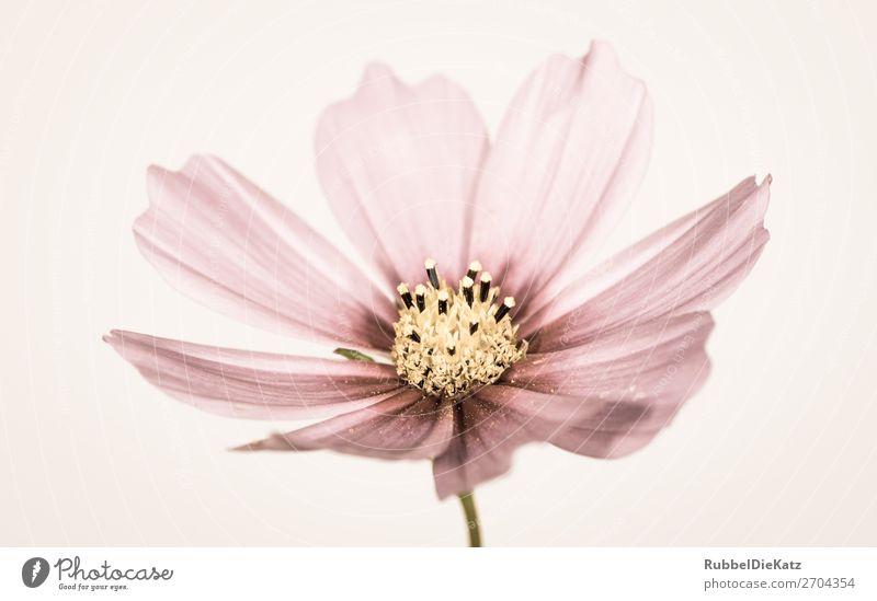 Blüte 05 Umwelt Natur Pflanze Blume Grünpflanze Wildpflanze Blühend Duft verblüht alt ästhetisch dreckig frisch schön kalt mehrfarbig gelb gold grün rosa rot