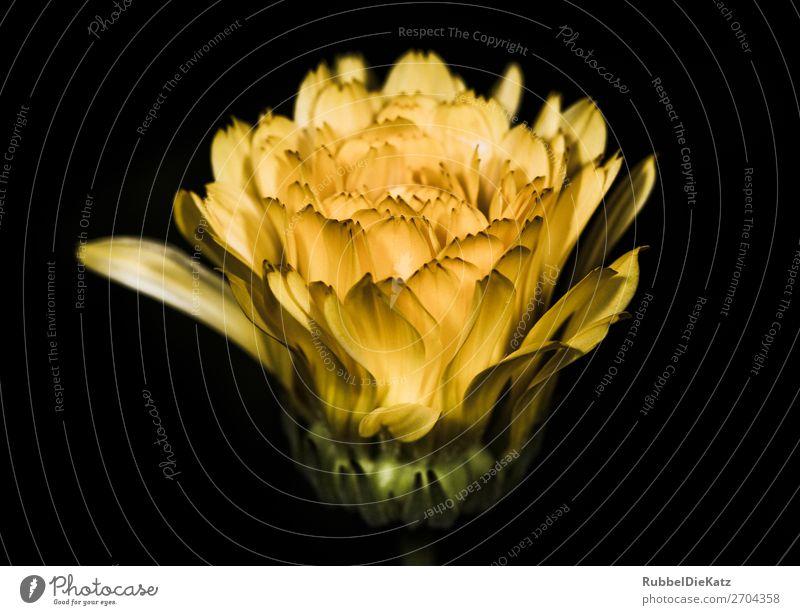 Blüte 03 Umwelt Natur Pflanze Blume Grünpflanze Wildpflanze Dekoration & Verzierung Blumenstrauß Duft leuchten träumen Wachstum ästhetisch frisch gelb grün