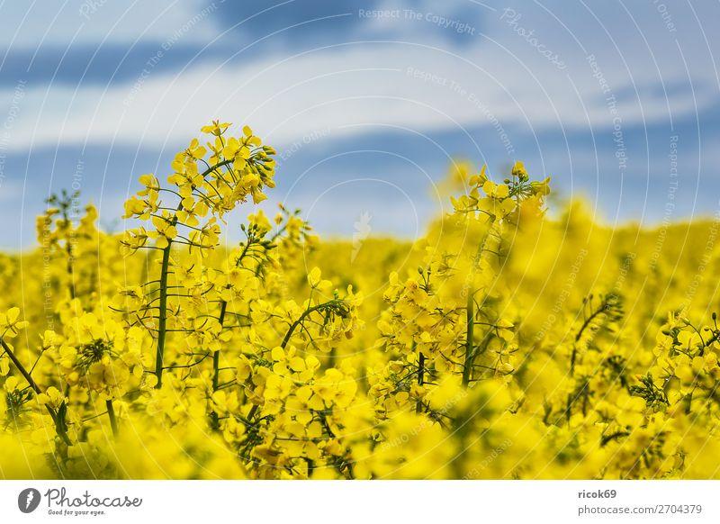 Blühendes Rapsfeld in Mecklenburg-Vorpommern Erholung Ferien & Urlaub & Reisen Tourismus Landwirtschaft Forstwirtschaft Umwelt Natur Landschaft Pflanze Wolken