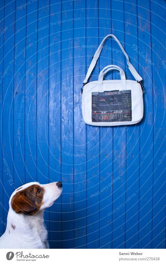 Hund blau weiß schön Tier braun Coolness niedlich Tiergesicht hören Wert Tierliebe