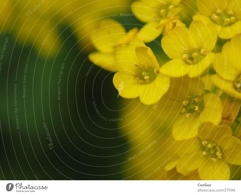 Blütenpracht Pflanze Blume gelb klein zierlich Makroaufnahme Nahaufnahme Natur brün